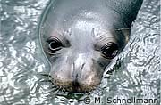 monk seal portrait